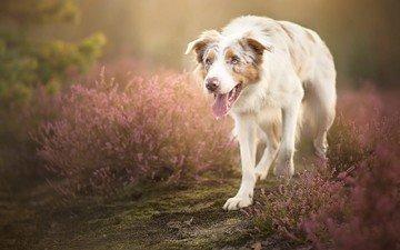 flowers, dog, language, australian shepherd, alicja zmysłowska, sorin