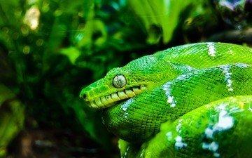 змея, зеленая, сан-франциско, рептилия, пресмыкающееся