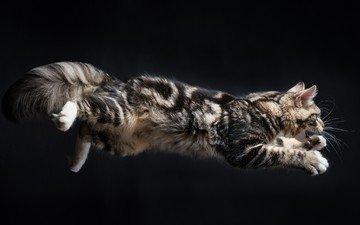 животные, кот, кошка, прыжок, черный фон, прыжки