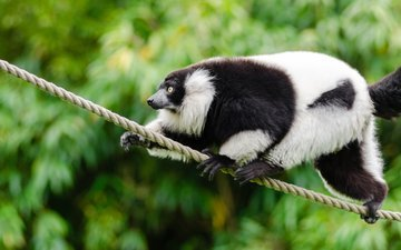животное, канат, чёрно-белый, лемур, примат, mathias appel, лемур вари