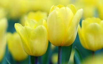 flowers, buds, spring, tulips, yellow