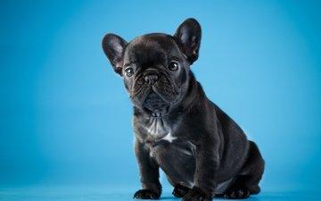 black, puppy, cute, french bulldog