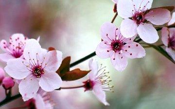 цветение, сад, весна, вишня