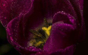цветок, лепестки, тюльпан