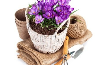flowers, white background, tangle, tools, pot, crocuses, twine, burlap