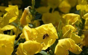 цветы, насекомое, лето, тюльпан, пчела, опыление