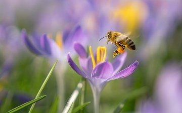 цветы, макро, насекомое, весна, пчела, крокусы