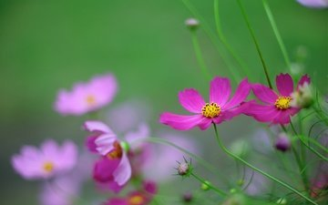 flowers, nature, petals, plant, stem, kosmeya