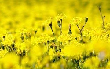 цветы, природа, лето, желтые, полевые цветы