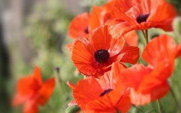 цветы, природа, макро, красные, маки