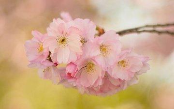 цветы, ветка, цветение, сад, весна