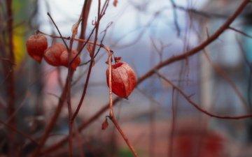 цветы, природа, фон, ветки, весна, физалис