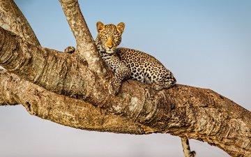 дерево, фон, взгляд, леопард, дикая кошка