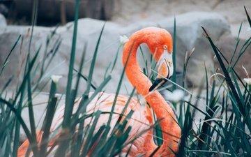 фламинго, птица, клюв, перья, шея