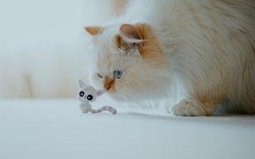кошка, кошечка, пушистая, гималайская