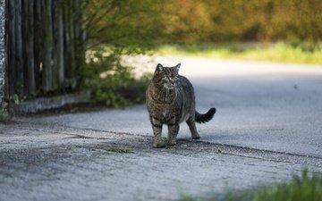 кот, кошка, взгляд, серый, улица