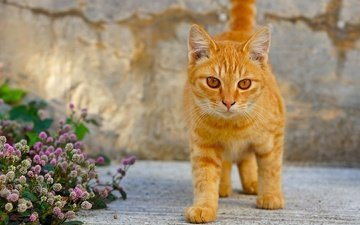 глаза, цветы, клевер, кот, кошка, взгляд, котенок, рыжий кот