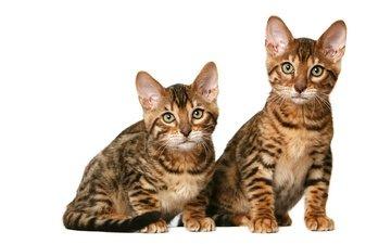 cats, kittens, duo, california, shorthair