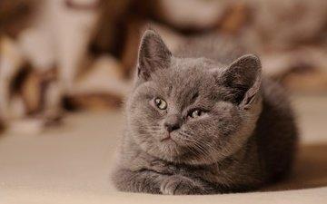 глаза, кот, усы, кошка, взгляд, котенок, пушистый