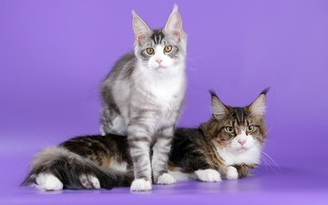 cats, ears, maine coon