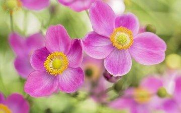 цветы, лепестки, розовые, боке, анемоны