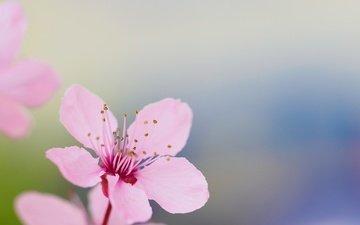 цветение, лепестки, сад, весна