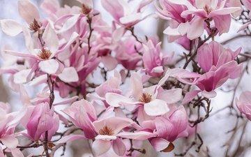 цветение, лепестки, весна, магнолия