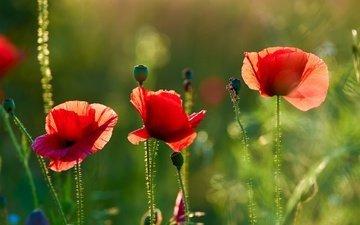 цветы, лето, красные, маки, луг