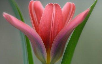 листья, макро, цветок, лепестки, тюльпан