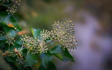 природа, листья, ветки, семена, растение, боке