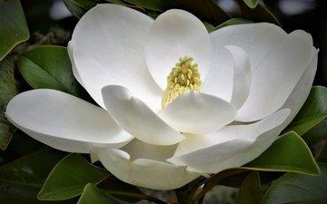 макро, цветок, белая, магнолия