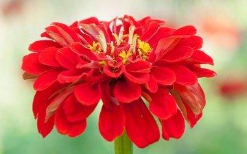 macro, flower, petals, zinnia