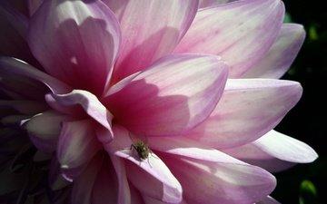 макро, цветок, лето, розовый, муха, георгин