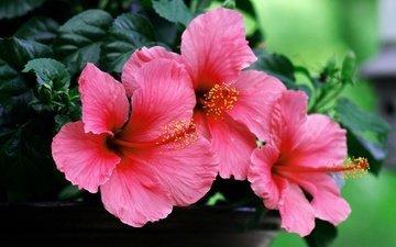 цветы, макро, лепестки, гибискус