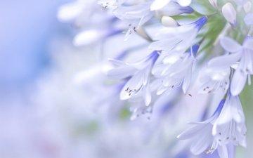 цветы, макро, голубой, агапантус