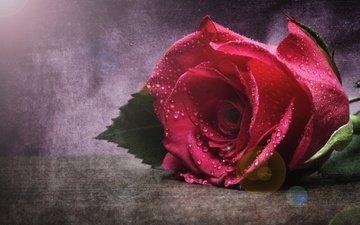 макро, цветок, капли, роза, бутон