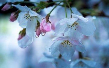 цветение, макро, капли, весна, вишня