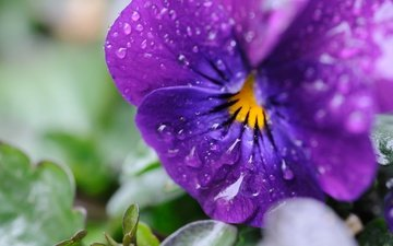 цветы, макро, капли, лепестки, анютины глазки, виола