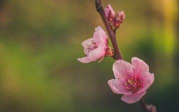 цветение, макро, лепестки, весна, сакура