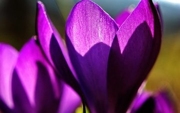 цветы, макро, лепестки, весна, крокусы