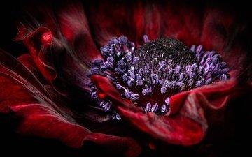 macro, flower, petals, red, stamens, mac, anemone, velvet, sophiaspurgin
