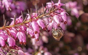 цветы, макро, насекомое, пчела, вереск
