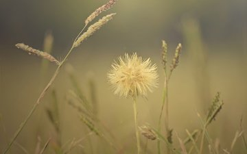 grass, macro, flower, field, spikelets, plant