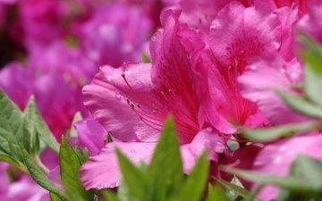 цветы, макро, розовые, азалия, рододендрон