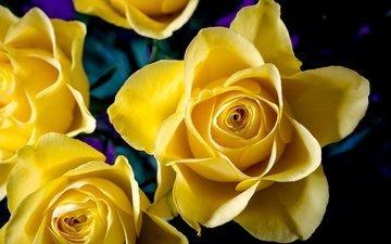 цветы, макро, розы, желтые