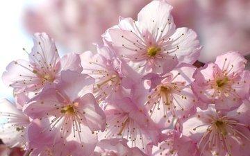 цветение, макро, весна, вишня, сакура