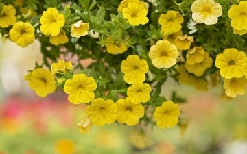 цветы, макро, жёлтая, петуния
