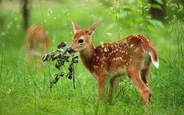 трава, олень, малыш, косуля, олененок