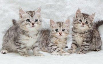 eyes, mustache, look, cats, kids, kittens, trio