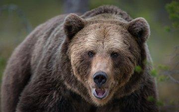 face, look, bear, animal, finland